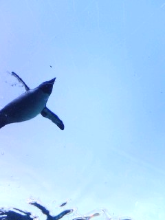 The penguin which flies in the sky.jpg